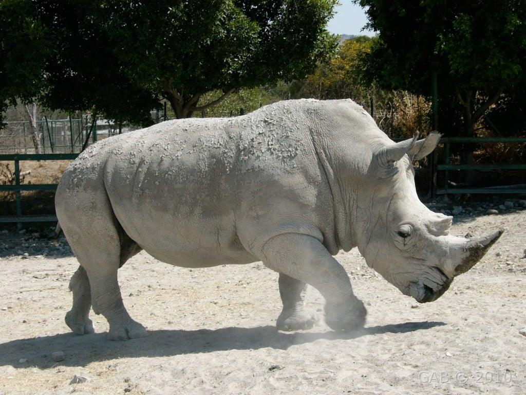 africam-safari-rinoceronte-puebla
